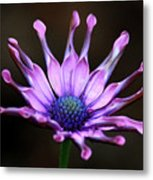African Daisy Portrait Metal Print