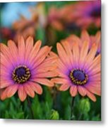 African Daisy Twins Metal Print