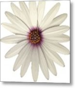 African Daisy With White Petals Metal Print