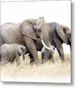African Elephant Group Isolated Metal Print