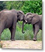 African Elephants Interacting Metal Print