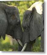African Elephants Loxodonta Africana Metal Print