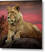 African Female Lion In The Grass At Sunset Metal Print