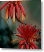 African Fire Lily Metal Print