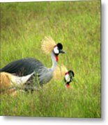 African Gray Crown Crane Metal Print