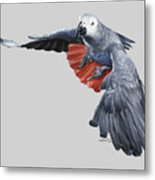 African Grey Parrot Flying Metal Print
