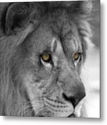 African Lion #8 Black And White  T O C Metal Print