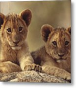 African Lion Cubs Resting On A Rock Metal Print
