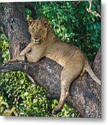 African Lion Panthera Leo On Tree, Lake Metal Print