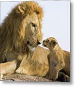 African Lion Panthera Leo Seven Metal Print