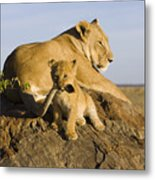 African Lion With Mother's Tail Metal Print by Suzi Eszterhas