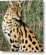 African Serval In Ngorongoro Conservation Area Metal Print