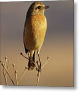 African Stone Chat Female Metal Print