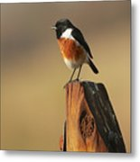 African Stone Chat Metal Print