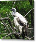 African Vulture Metal Print
