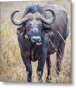 African Water Buffalo And Friends Metal Print