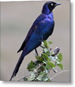 African White Eye Starling Metal Print