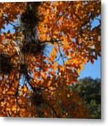 Afternoon Light On Maple Leaves Metal Print