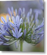 Agapanthus Africanus - Lily Of The Nile 2 Metal Print