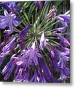 Agapanthus Flowers In Purple - New And Old Metal Print