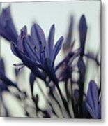 Agapanthus - Love Flower -2  Metal Print