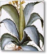 Agave, 1613 Metal Print