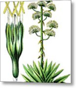 Agave Americana, Common Names Century Plant, Maguey Or American  Metal Print