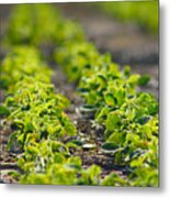 Agriculture- Soybeans 1 Metal Print