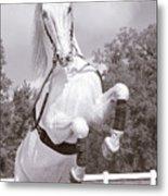 Airs Above The Ground - Lipizzan Stallion Rearing Metal Print