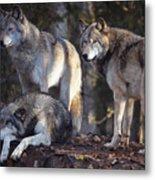 Alaska Wolf Trio Metal Print