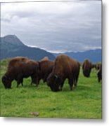Alaska Wood Bison Metal Print
