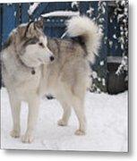 Alaskan Malamute In Snow 2 Metal Print
