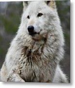 Alawa The Wolf Rests Metal Print
