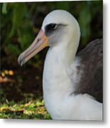 Albatross Portrait Metal Print