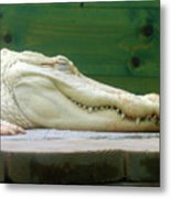 Albino Alligator Metal Print