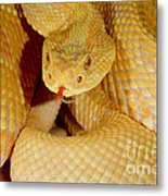 Albino Brazilian Rattlesnake Metal Print