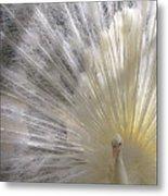 A Leucistic Peacock Metal Print