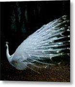 Albino Peacock Metal Print