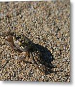 Ale Eke Ohiki Kuau Sand Crab Metal Print