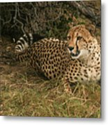 Alert Cheetah Metal Print