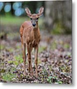 Alert Fawn Deer In Shiloh National Military Park Tennessee Metal Print