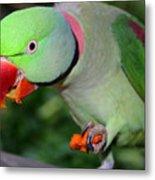 Alexandrine Parrot Feeding Metal Print