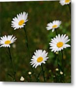 All The Daisies Metal Print