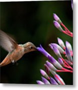 Allen's Hummingbird At Breakfast Metal Print by Mike Herdering