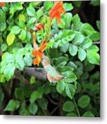Allen's Hummingbird In Cape Honeysuckle Metal Print