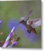 Allen's Hummingbird Metal Print