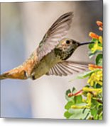 Allen's Hummingbird On Golden Currant Metal Print