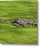 Alligator In Sun Metal Print