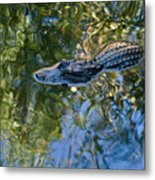 Alligator Stalking Metal Print
