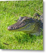 Alligator Up Close  Metal Print by Allen Sheffield